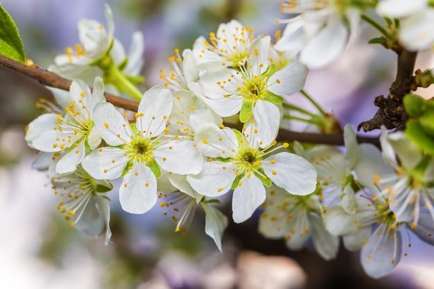 Ramo de cerejeira em flor com flores brancas.