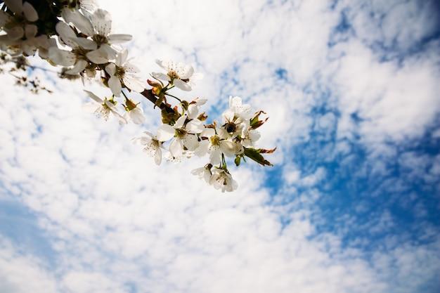 Ramo de damasco com flores desabrochando
