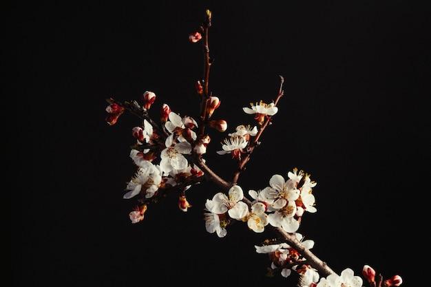 Ramo de damasco de florescência em um fundo preto.