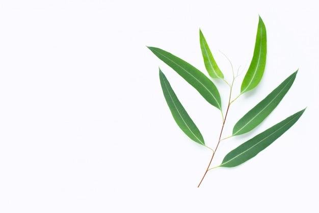 Ramo de eucalipto verde sobre fundo branco