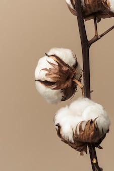 Ramo de flor de algodão fofo seco em fundo bege