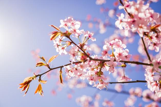 Ramo de flor de sakura rosa debaixo da árvore de sakura