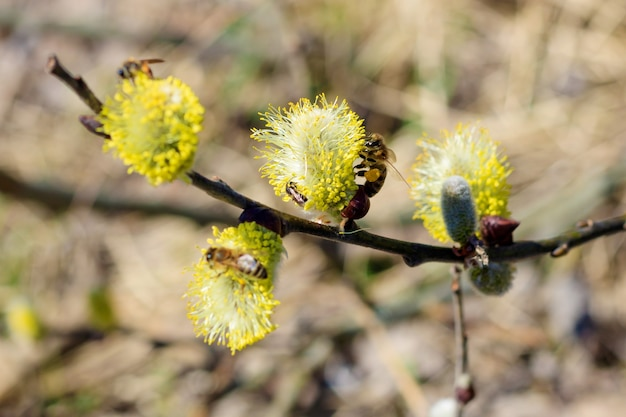 Ramo de flor de salgueiro closeup