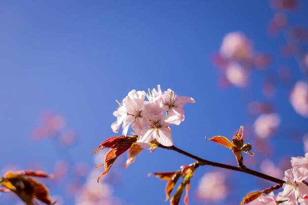 Ramo de flor rosa sakura sob sombra de árvore de sakura por trás do raio de luz solar