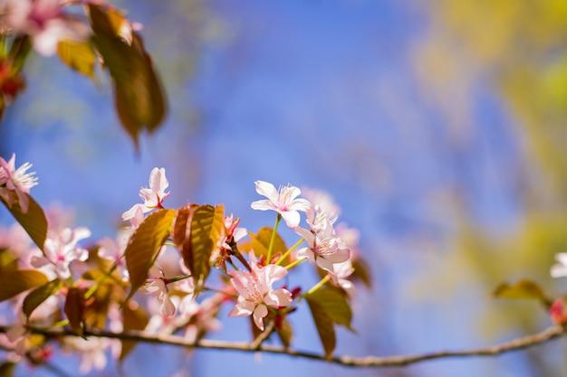 Ramo de flores de cerejeira sakura primavera florescendo. árvore de florescência de ameixa de cereja-de-rosa. ameixeira