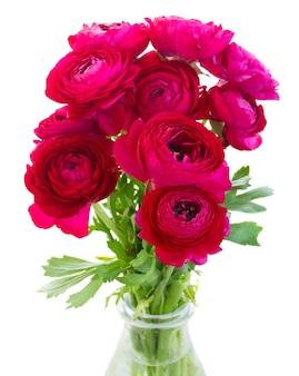 Ramo de flores de ranúnculo rosa frescas isoladas em branco