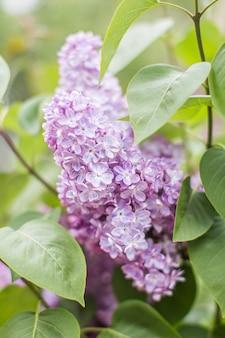 Ramo de flores lilás com as folhas, close-up, vertical.