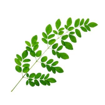 Ramo de folhas verdes de moringa isoladas