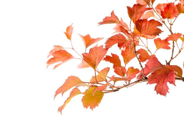 Ramo de folhas vermelhas de outono isoladas em um fundo branco.