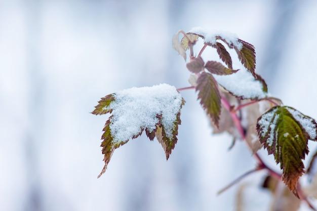 Ramo de framboesas com folhas secas, coberto de neve. inverno no jardim_