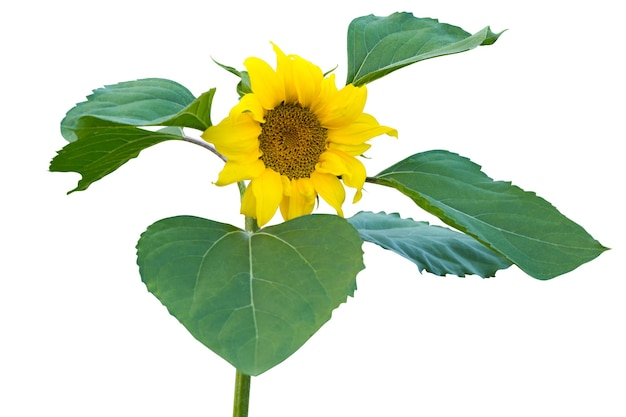 Ramo de girassol florescendo no caule e folhas verdes isoladas