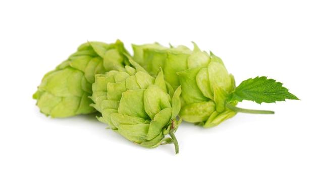 Ramo de lúpulo verde fresco, isolado em um fundo branco. cones de lúpulo com folha. flores orgânicas de lúpulo. fechar-se.