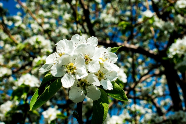 Ramo de maçã flor de árvore de pera
