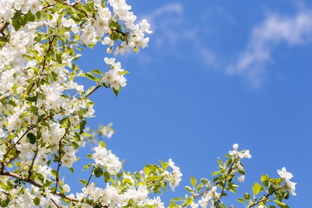 Ramo de macieira primavera com flores brancas, superfície florescendo