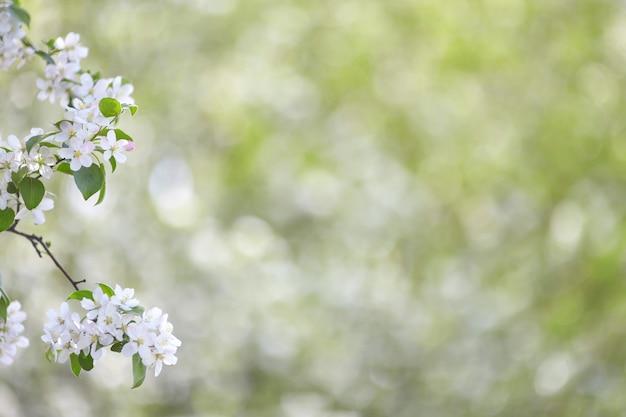Ramo de macieira primavera com flores brancas