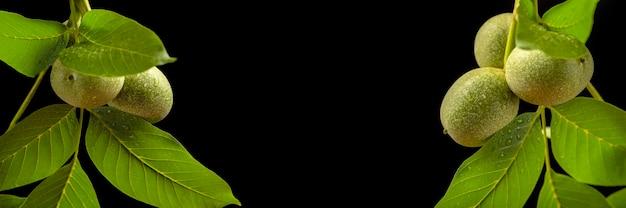 Ramo de noz de noz com frutos verdes isolados no fundo preto grande faixa preta copie o espaço ...