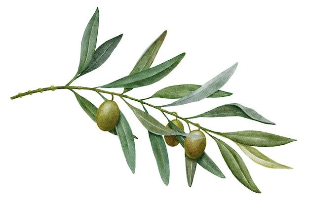 Ramo de oliveira com azeitonas verdes aquarela ilustração isolada