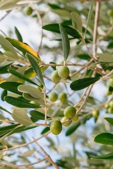 Ramo de oliveira com bagas verdes