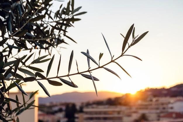 Ramo de oliveira em cannes