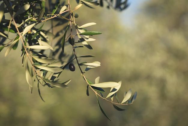 Ramo de oliveira que entrega de cima no jardim verde-oliva. taggiasca ou cailletier cultivar. foco seletivo, fundo desfocado verde.