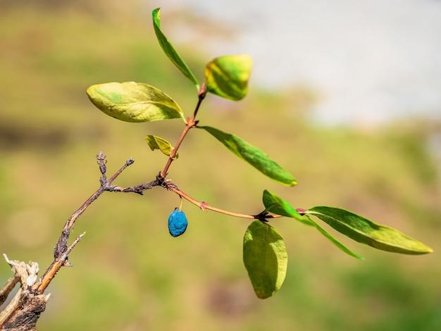 Ramo de outono de madressilva madura sobre um fundo natural verde embaçado, close-up.