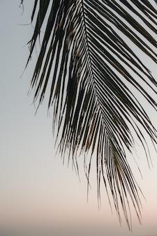 Ramo de palmeira de coco tropical lindo com pôr do sol rosa. minimalista com cores neutras.