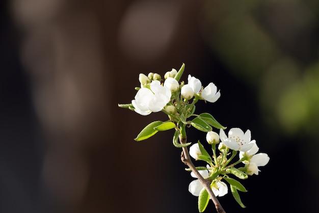 Ramo de pêra florescendo no jardim