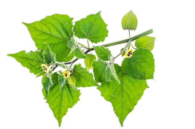 Ramo de physalis com folhas verdes e frutos verdes em fundo branco.
