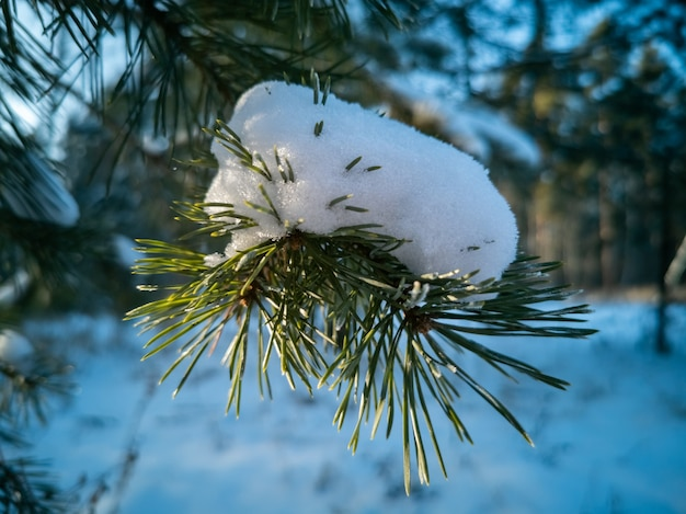 Ramo de pinheiro coberto de neve iluminado pelo sol inverno dia ensolarado e gelado na floresta