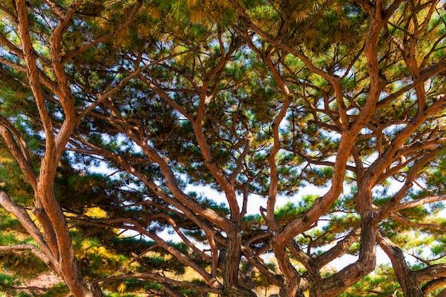 Ramo de pinheiro com agulhas verdes e amarelas - veja a vista