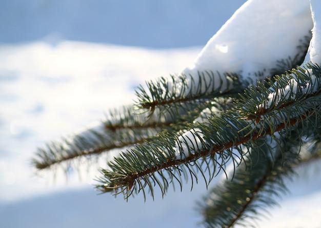 Ramo de pinheiro sob uma neve