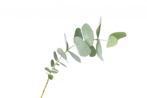 Ramo de planta de eucalipto isolado no branco