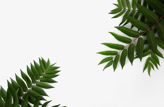 Ramo de planta viva verde em fundo branco