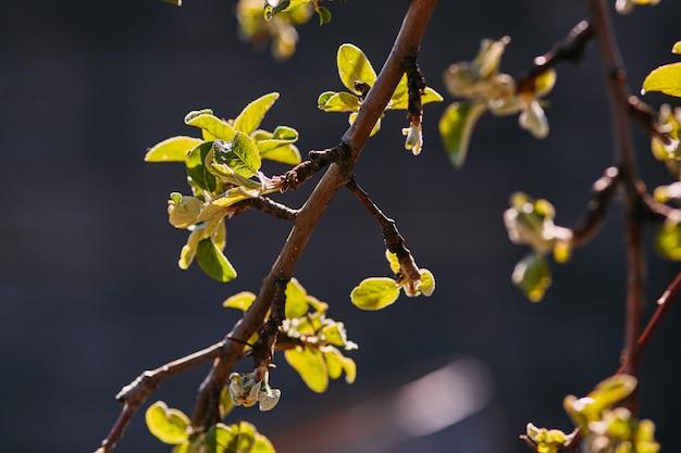 Ramo de primavera, folhas jovens e rins