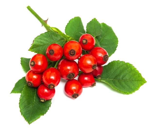 Ramo de roseira brava de cachorro vermelho maduro e folhas em um fundo branco
