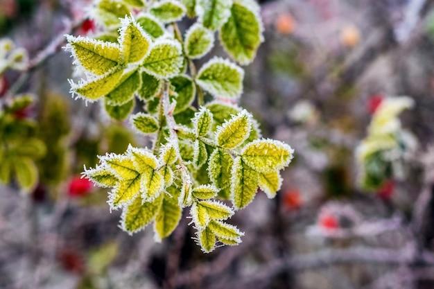 Ramo de roseira coberto de geada com folhas verdes