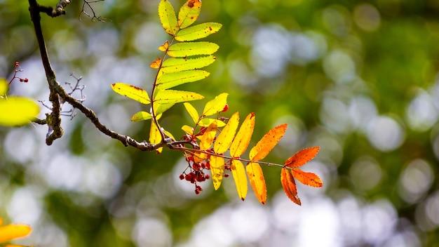 Ramo de rowan com folhas coloridas de outono em uma árvore em um clima ensolarado