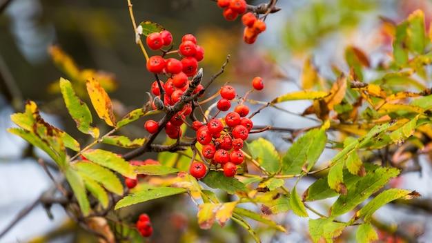 Ramo de rowan com frutas vermelhas e folhas amarelas e verdes