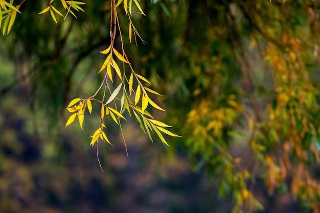 Ramo de salgueiro com folhas amarelas de outono em um fundo escuro