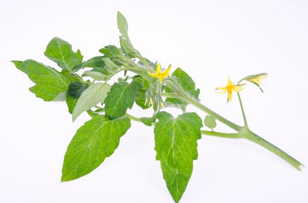 Ramo de tomate com folhas verdes e flores amarelas. foto do estúdio.