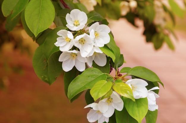 Ramo de uma macieira florescendo em um fundo desfocado. fundo floral flores de primavera suave na macieira. copie o espaço. foco suave.