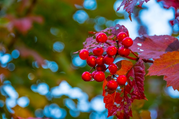 Ramo de viburnum vermelho no jardim depois da chuva. as bagas vermelhas de um viburnum amadurecem em um arbusto em um jardim.