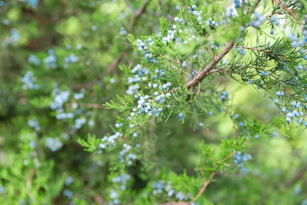 Ramo de zimbro com bagas. thuja evergreen árvore conífera close-up