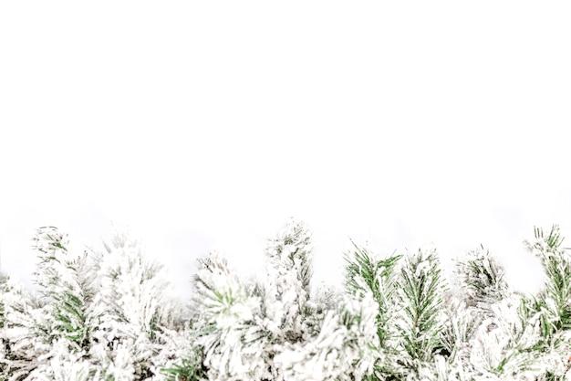 Ramo decorativo spruce coberto de neve em um fundo branco. espaço para texto.