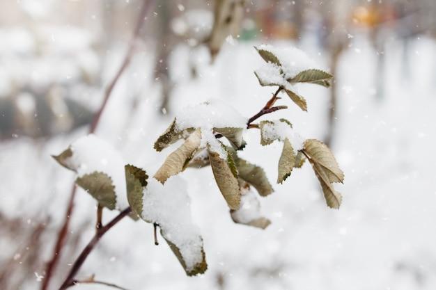 Ramo e folhas de rosa mosqueta cobertas de neve e gelo no inverno