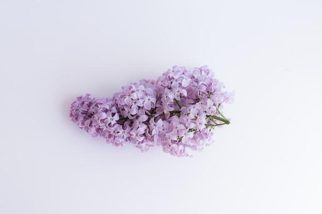 Ramo florescendo com flores roxas da árvore lilás sobre fundo branco