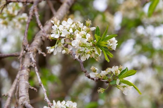 Ramo florido branco de ameixa na primavera