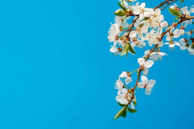Ramo florido com floração branca sobre fundo azul, lugar para texto