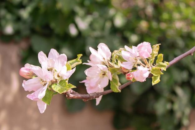 Ramo florido de macieira no jardim