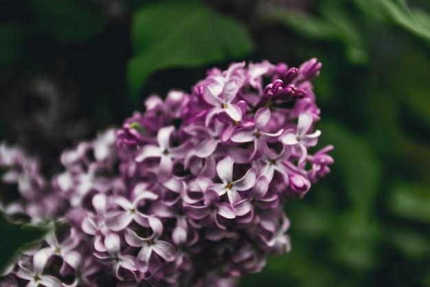 Ramo lilás de um arbusto. ramo de primavera com flores de primavera lilás